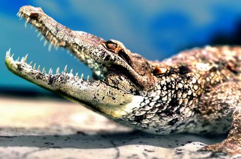 Аллигатор — это не только животное, но и помощник в заработке !